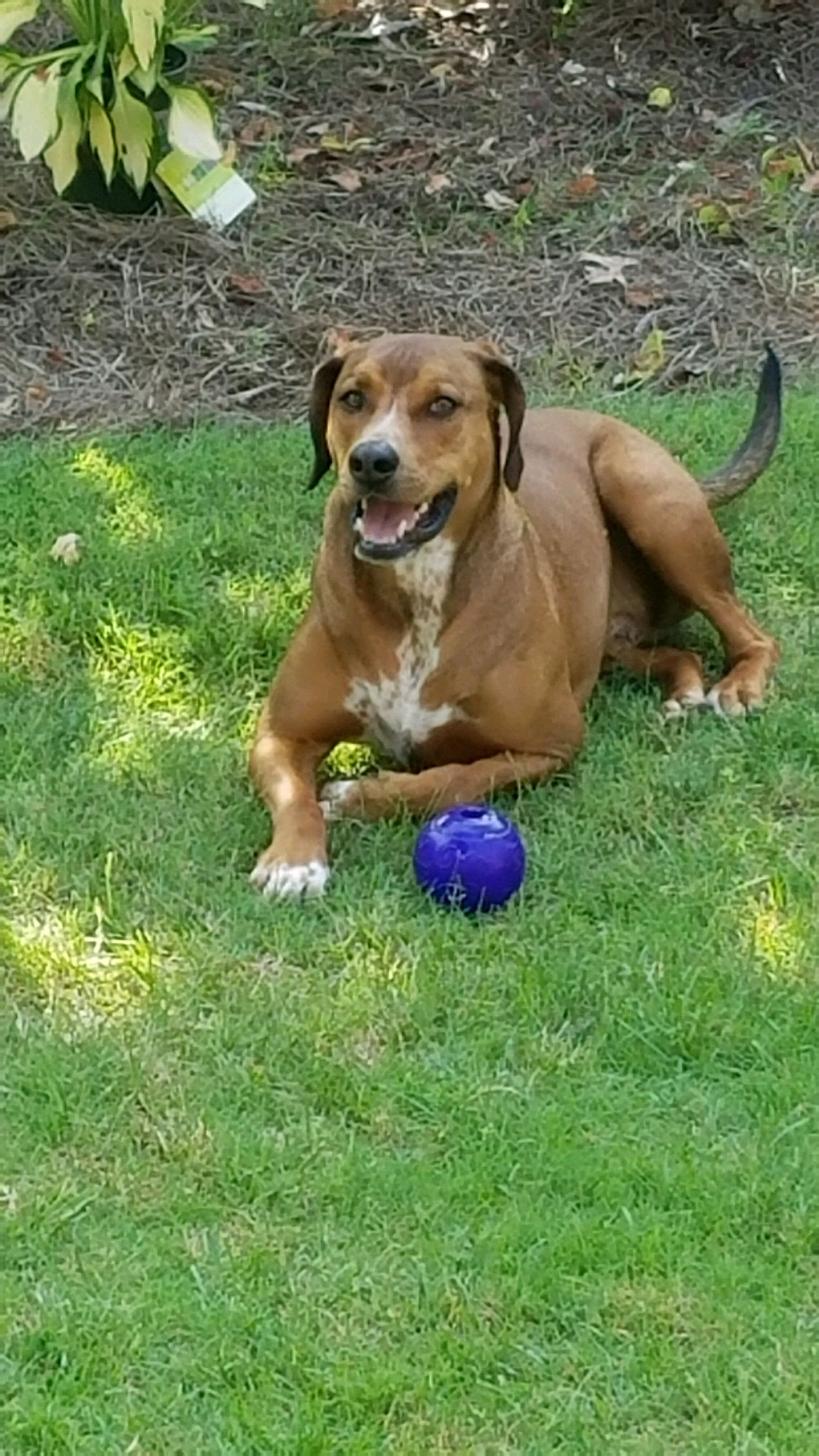 Brown and white dog laying in green grass next to a blue ball