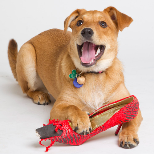 A tan puppy has his paw resting on a chewed-up fancy looking woman's shoe