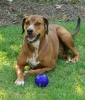 A happy tan dog sits in the grass with a ball