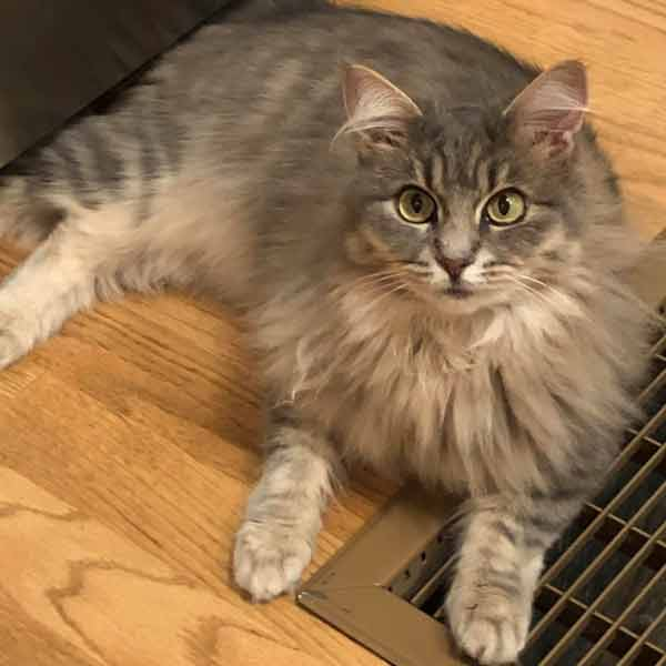 A long haired grey cat lays on a wood floor