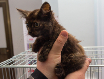Brown kitten in the hands of a volunteer.
