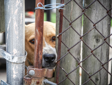 Tan dog with a white muzzle wedging its face in a fence that is tied shut.