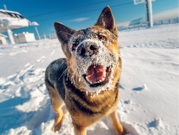 German Sheppard outside in the snow with snow and ice covering its mussel.