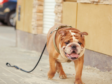 Bulldog with a leash attached walking down a sidewalk alone.