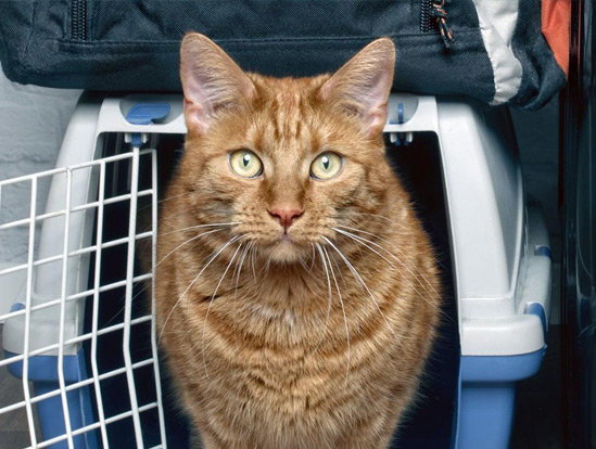 An orange cat stands next to it's carrier