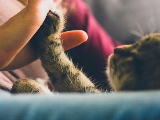 Close-up photo of a grey cat touching his paw to a young woman as they look at each other