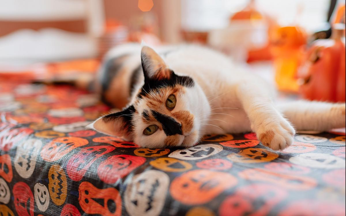 black and orange cat laying on pumpkin table cloth