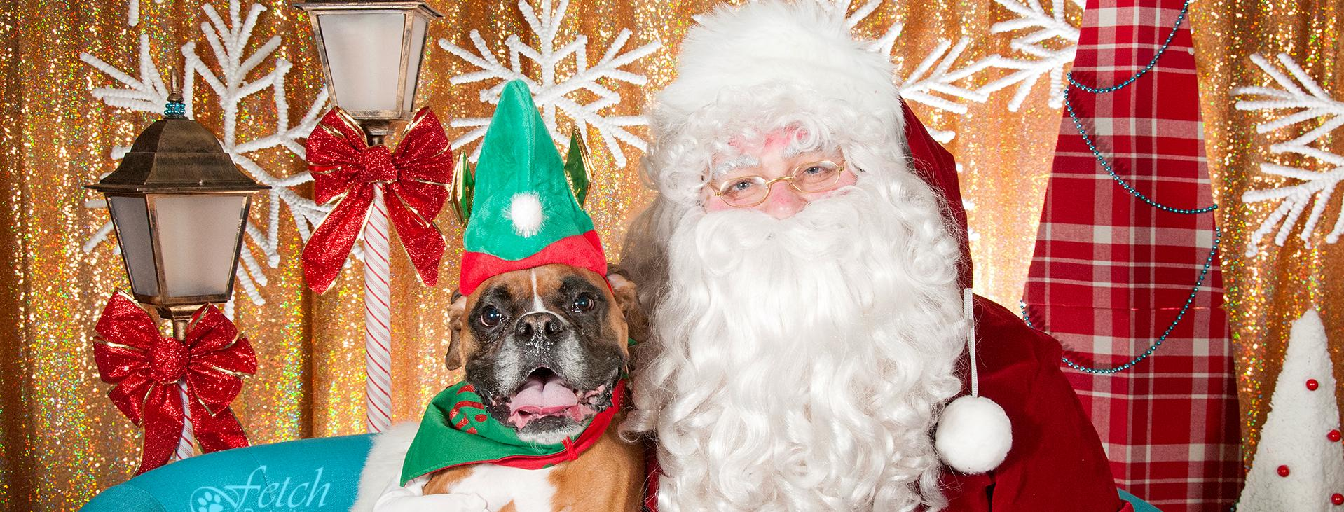 Brown and white boxer with a green elf hat on sitting next to santa
