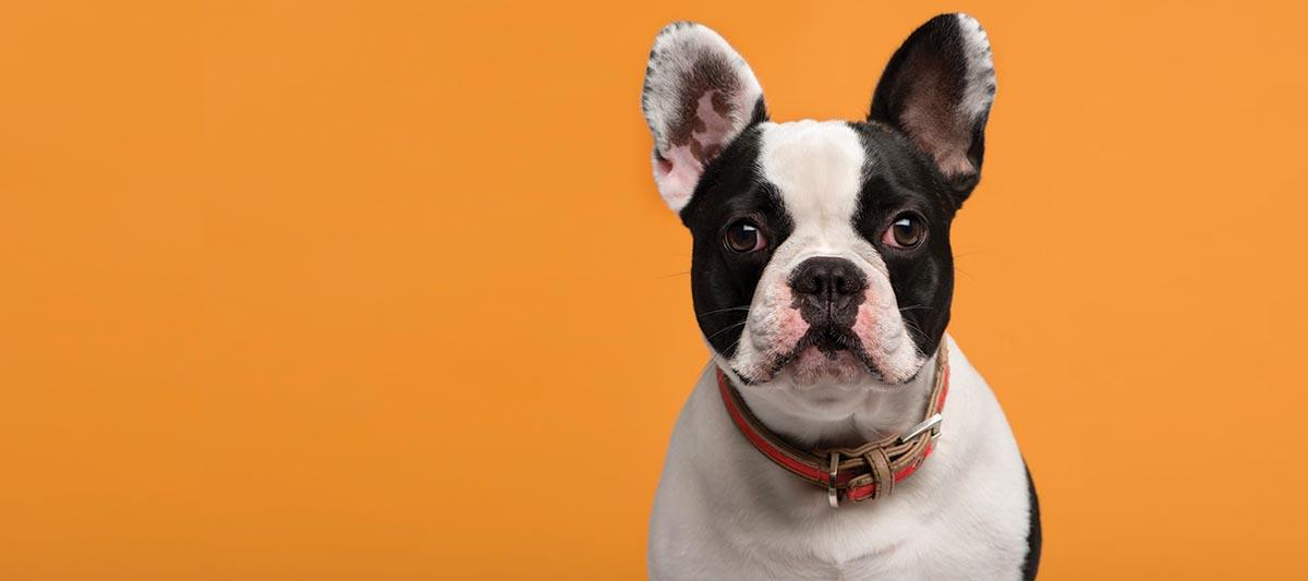 A black and white dog on an orange background