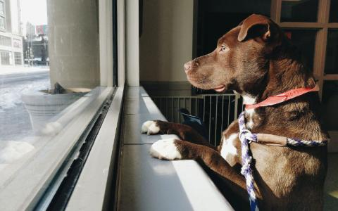 A brown dog looks out The Anti-Cruelty Society window at downtown Chicago