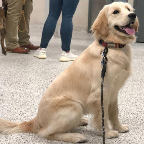 golden retriever wearing a leash sitting