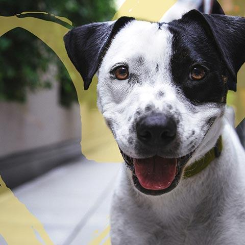 White dog with black spots and black ears with a gold heart behind him