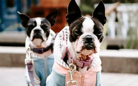 2 stylish small dogs in clothing look into the camera on an urban sidewalk