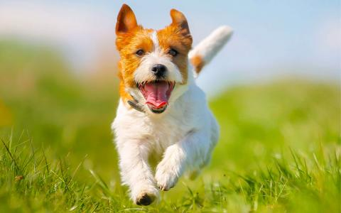 A happy dog runs though a grassy field on a sunny day