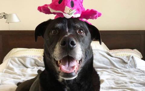 Mack, a large black dog, poses with a bright pink toy atop his head