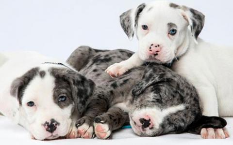3 lazy puppies cuddle together agains a white background