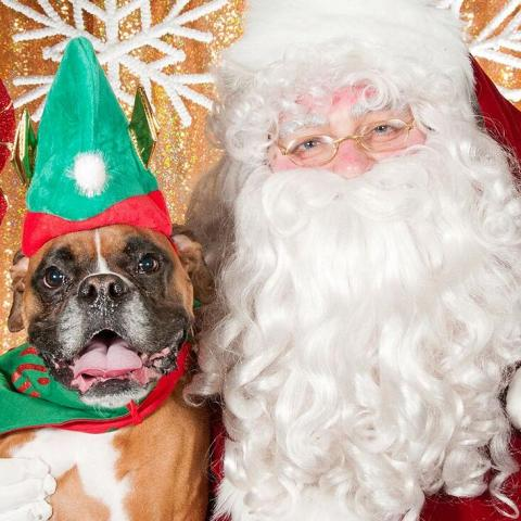 brown and white boxer with green elf hat sitting next to santa